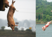 Kỳ lạ trang trại có hàng trăm con lợn 'nhảy cầu' tự tử mỗi ngày