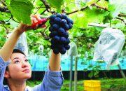 """Những loại trái cây đắt đỏ nhất thế giới """"quy tụ"""" tại Nhật Bản"""